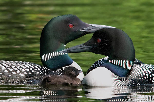 Loons Art Print featuring the photograph Family - Famille by Michel Legare