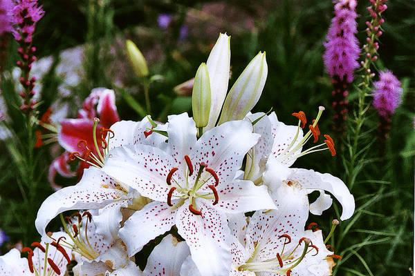 Summer Art Print featuring the photograph Fancy White Lily In Garden by Roger Soule