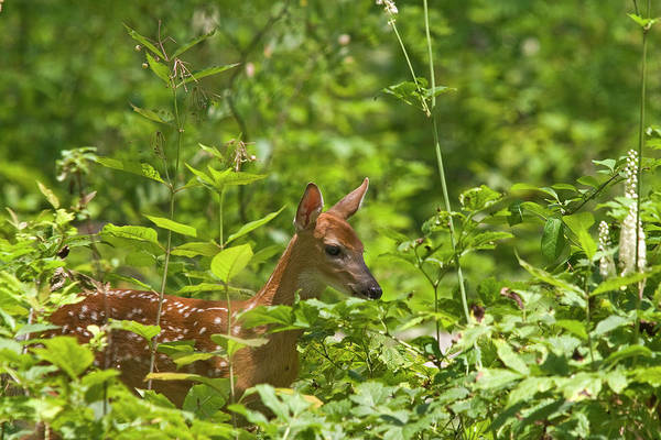 Deer Art Print featuring the photograph Fawn Relaxing by Rodney Cammauf