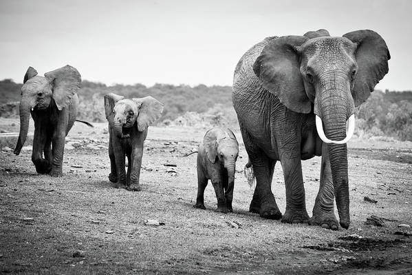 Horizontal Art Print featuring the photograph Female African Elephant by Cedric Favero