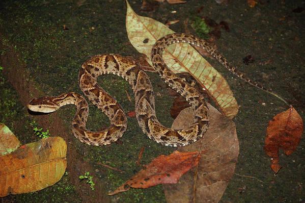 Snake Art Print featuring the photograph Fer-de-lance, Bothrops Asper by Breck Bartholomew