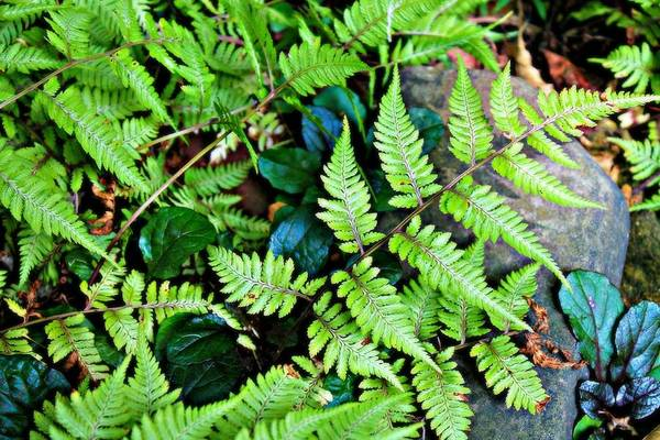 Fern Art Print featuring the photograph Fern by Vicki Dreher