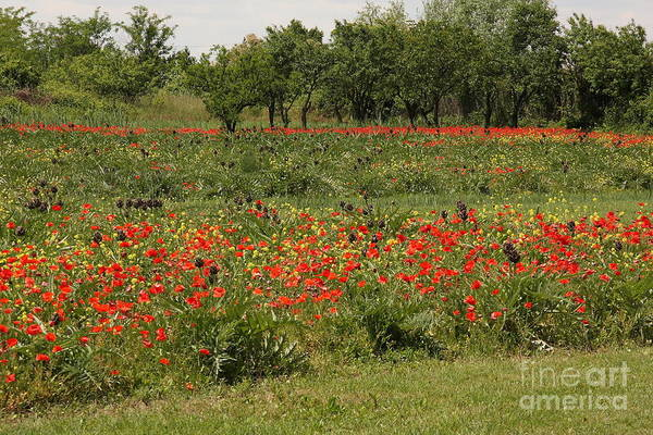Flowers Art Print featuring the photograph Field Of Poppies On Torcello In Venice by Michael Henderson