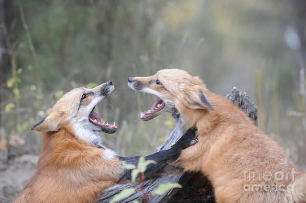 Red Tailed Fox Art Print featuring the photograph Fight For Dominance by Dennis Hammer