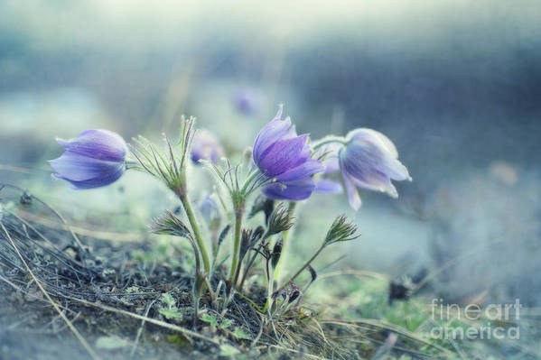 Pulsatilla Vulgaris Art Print featuring the photograph Finally Spring by Priska Wettstein