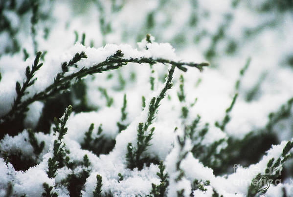 Landscape Snow Evergreen Bush Winter Art Print featuring the photograph First Snow by Helena M Langley