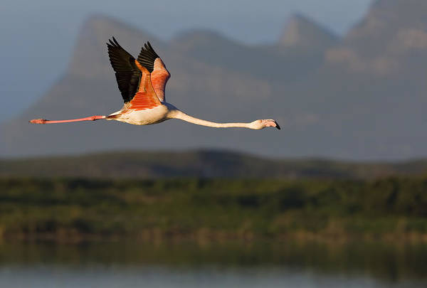 Flamingo Art Print featuring the photograph Flamingo Flight by Basie Van Zyl