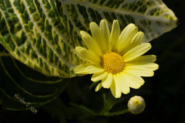 Daisy Art Print featuring the photograph Floating Daisy by Lyle Huisken