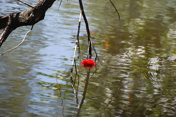 Water Art Print featuring the photograph Floating Flower by Rob Hans