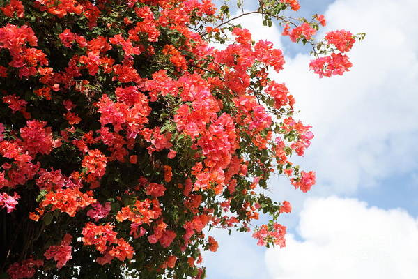 Hawaii Art Print featuring the photograph Flowering Tree by Nadine Rippelmeyer