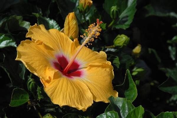Hibiscus Flower Art Print featuring the photograph Flowers 727 by Joyce StJames