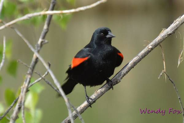 Red Art Print featuring the photograph Fluffed Red-winged Blackbird by Wendy Fox