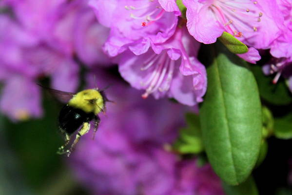 Bumble Bee Art Print featuring the photograph Flying Bee Collecting Pollen by Anita Hiltz