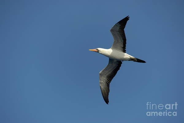 Motion Art Print featuring the photograph Flying Masked Booby In Flight by Sami Sarkis