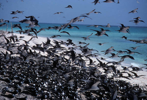 Flock Art Print featuring the photograph Flying Terns On The Great Barrier Reef by Carl Purcell