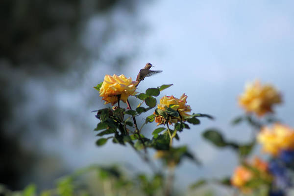 Hummingbird Art Print featuring the photograph Focus On Beauty by Ellen Lerner ODonnell