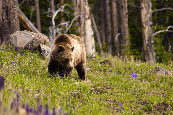 Grizzly Bear Art Print featuring the photograph Foraging Grizzly by Chad Davis