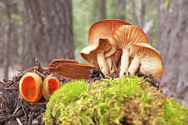 Mushroom Art Print featuring the photograph Forest Mushrooms by Buddy Mays
