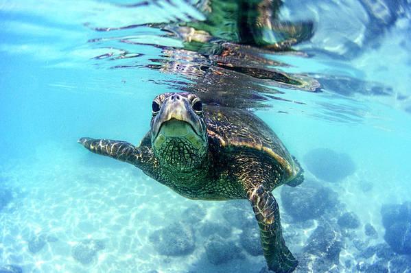 Friendly Art Print featuring the photograph friendly Hawaiian sea turtle by Sean Davey