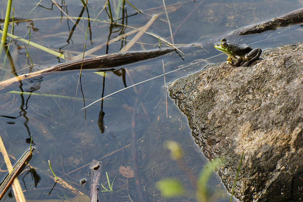 Acadia Art Print featuring the photograph Frog At Pond by Jack Goldberg