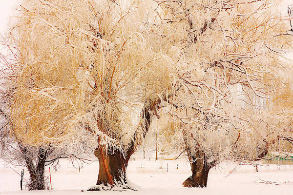 Trees Art Print featuring the photograph Frosted Golden Trees by James BO Insogna