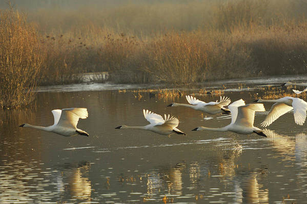 Trumpeter Swans Art Print featuring the photograph Full Speed Ahead by Diane Smith