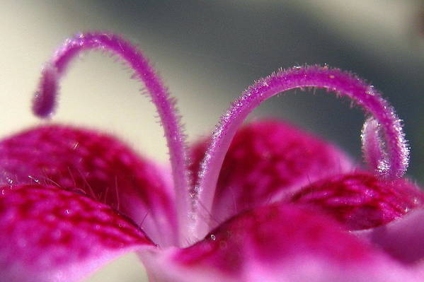 Dianthus Art Print featuring the photograph Fuzzzzz by Marla McFall