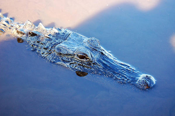 Alligator Art Print featuring the photograph Gator Blues by Heather S Huston