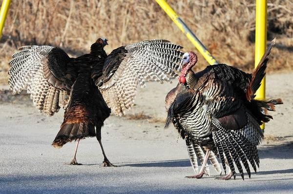 Turkeys Art Print featuring the photograph Get Away From Me by Jo-Ann Matthews