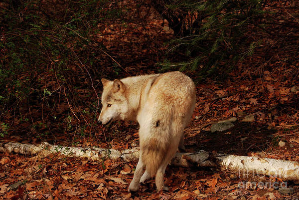 Wolf Art Print featuring the photograph Get Back It's My Stick by Lori Tambakis