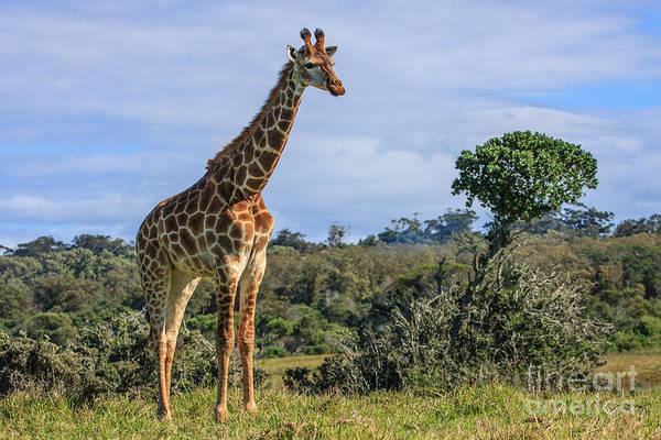 Giraffe Art Print featuring the photograph Giraffe by Jennifer Ludlum