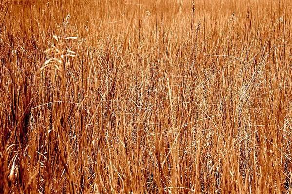 Field Art Print featuring the photograph Golden Field by Caroline Clark