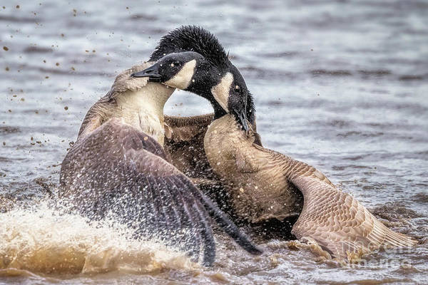 Geese Art Print featuring the photograph Goose Epic Battle by Monica Hall