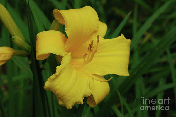 Lily Art Print featuring the photograph Gorgeous Yellow Daylily In A Garden Blooming by DejaVu Designs