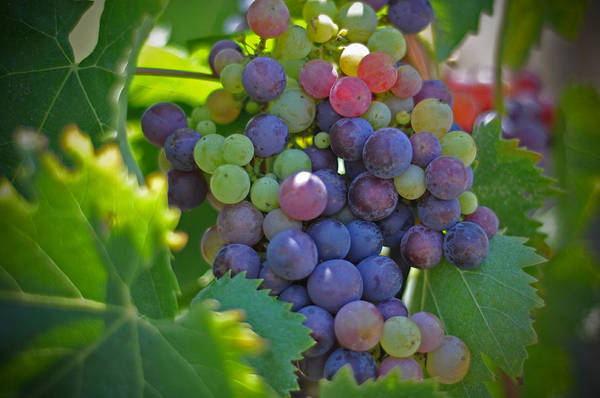 Grapes Winery Wine Leaves Landscape Photography Canvas Greeting Cards Fruit Grape Vine Vino Vineyard Art Print featuring the photograph Grapes by Kelly Wade