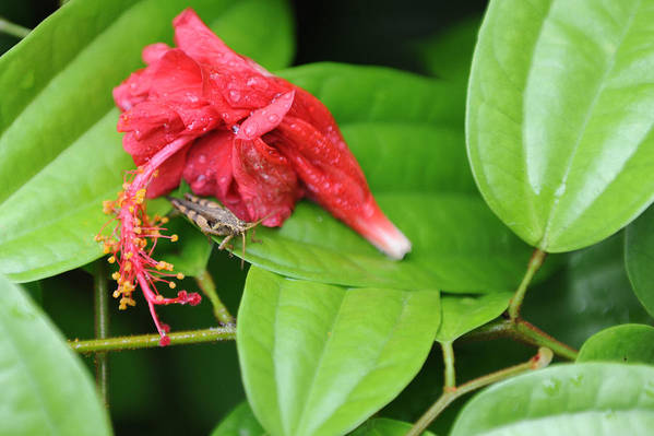 Red Art Print featuring the photograph Grasshopper And Hibiscus by Jessica Rose