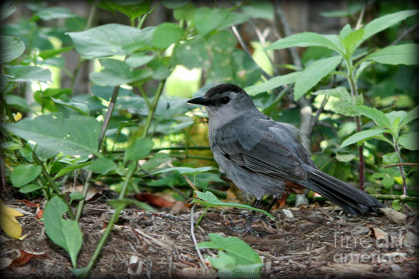 Bird Art Print featuring the photograph Gray Catbird by Debra Straub