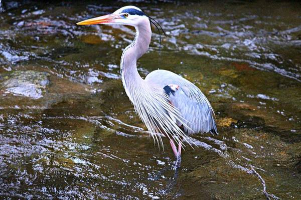 Great Blue Heron Art Print featuring the photograph Great Blue Heron by Keri Butcher