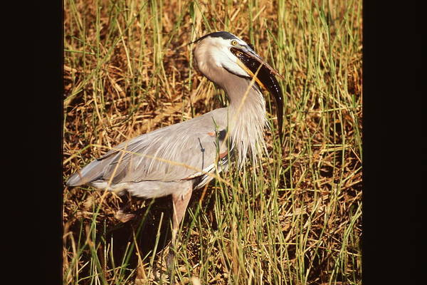 Great Blue Heron Art Print featuring the photograph Great Blue Heron by Nicole Anderson