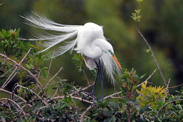 Great Egret Art Print featuring the photograph Great Egret Bridal Train by Alan Lenk