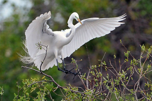 Egret Art Print featuring the photograph Great Egret Coming In For Landing by Alan Lenk