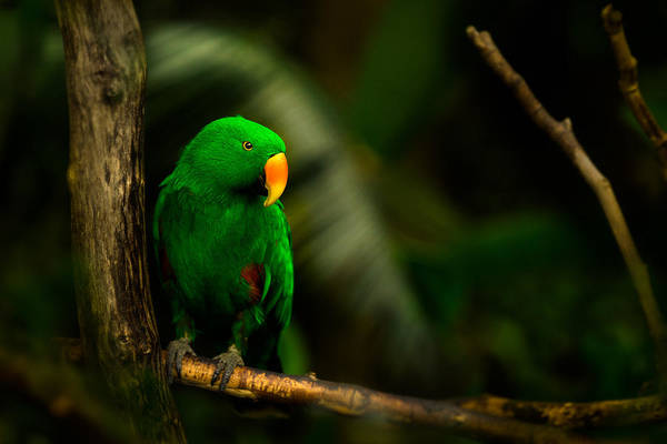 Bloedel Flora Bird Conservatory Art Print featuring the photograph Green Eclectus Parrot Male by Peter v Quenter
