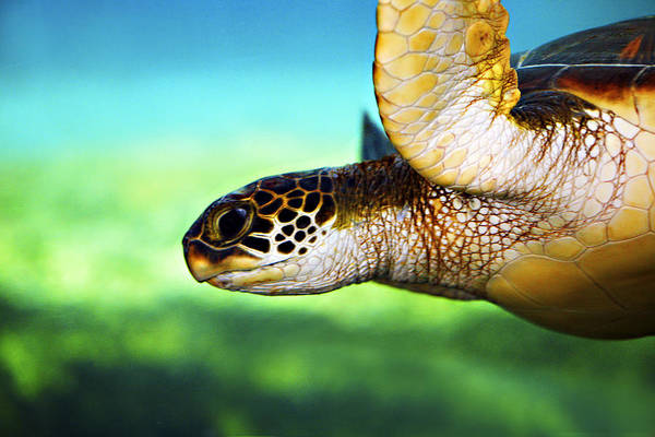 Green Print featuring the photograph Green Sea Turtle by Marilyn Hunt