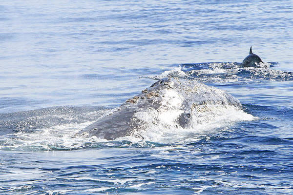Grey Whale Art Print featuring the photograph Grey Whale 2 by Shoal Hollingsworth