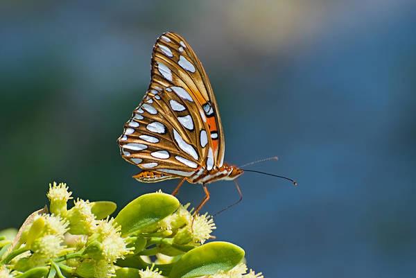 Butterfly Art Print featuring the photograph Gulf Fritillary Butterfly by Terry Wieckert