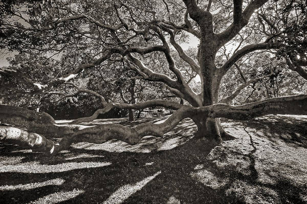 Trees Art Print featuring the photograph Gumbo Limbo by HH Photography of Florida