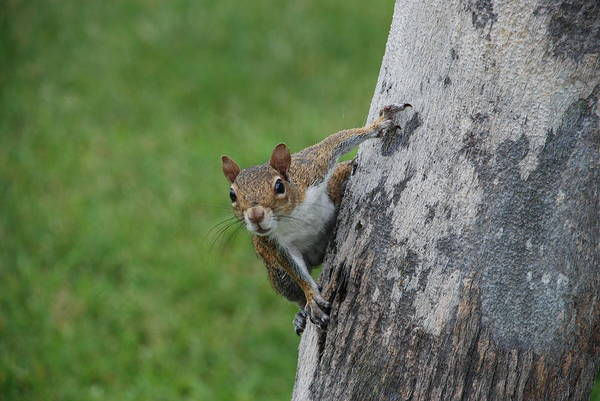 Squirrel Art Print featuring the photograph Hanging On by Rob Hans
