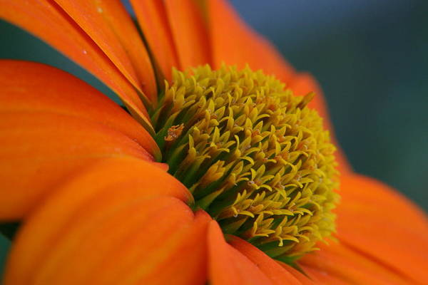 Orange Flower Art Print featuring the photograph Happy by Linda Russell