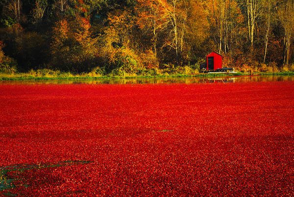 Cranberries Art Print featuring the photograph Harvest Time by Diane Smith