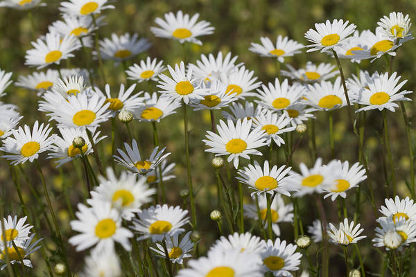 Oxeye Daisies Art Print featuring the photograph He Loves Me Daisies by Kathy Clark